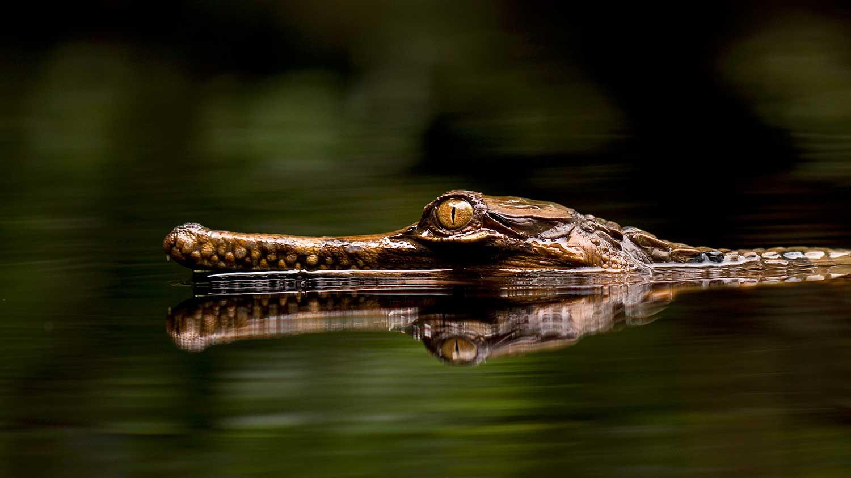 Crocodile Borneo Jungle