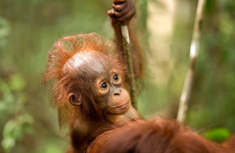Orangutan Tour Borneo Jungle