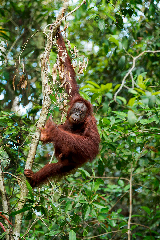 Orangutan Climbing Borneo